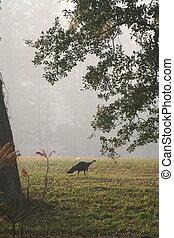 Wild Turkey 2 - A wild turkey on a foggy morning