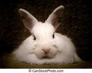 Rabbit - White pet rabbit