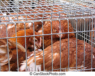 Hens at the market - Young hens in a small cage at a local...