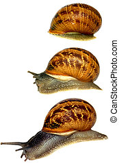 Snail Waking Up - Snail waking up and heading off