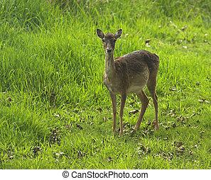Deer - Young doe in meadow