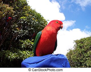 Male King Parrot - This is a striking male King parrot. They...