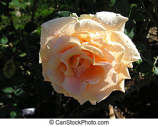 dewy peach rose - A still-dewy peach rose with a tint of red...