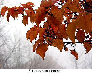 Foggy fall - Crabapple tree branch with bright orange leaves...
