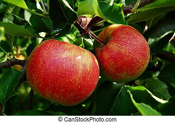 Tree Ripened Apples - two ripe apples on tree