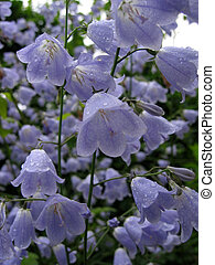Bellflowers - Lilac Bellflowers with water drops