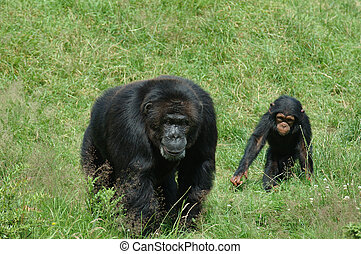 Mother and kid chimpanzee