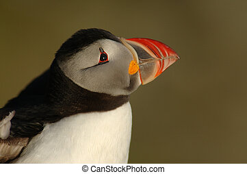 Profile of a puffin with smooth background