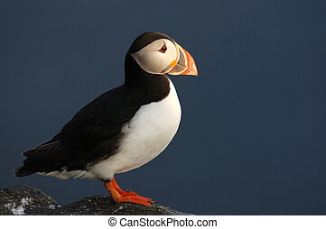 Beautiful Puffin - Very beautiful Puffin