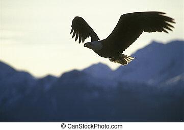voando, calvo, águia