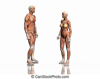 Anatomy of man and woman - Anatomically correct medical...