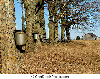 maple trees with buckets - maple trees in the spring with...