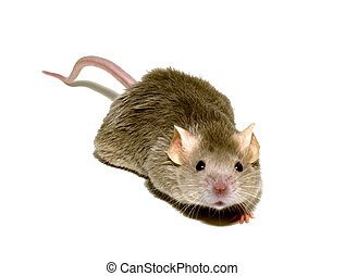 mouse 1 - small mouse
