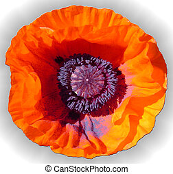 Remembrance - Poppy blossom in my garden.