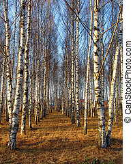 Birchgrove - Birch rows in a village