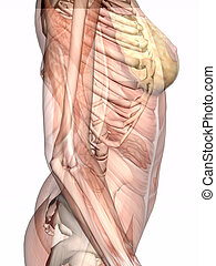 Anatomy, transparnt muscles with skeleton.