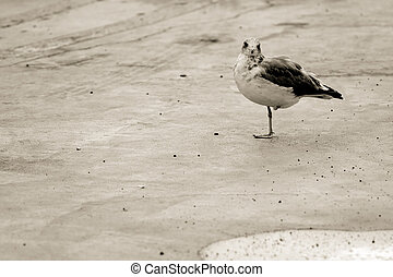 Amputee - Black and white photo of a one-legged seagull