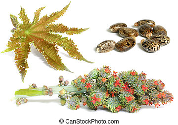 Castor Oil Plant - Castor oil leaf, flower head and seeds;...