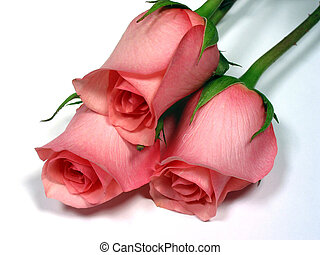 Pink roses on white background - Pink roses isolated on...