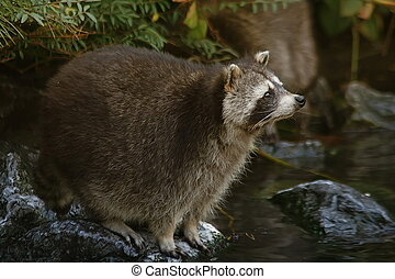Raccoon - 1 - Raccoon