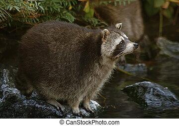 Raccoon - 1 - Raccoon