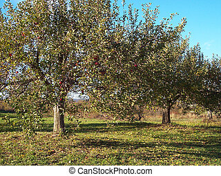 Apple Tree 3 - Apple tree in an apple orchard