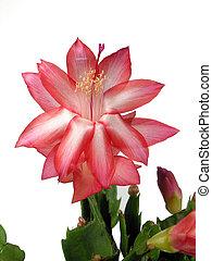 Christmas Cactus - Star shaped christmas cactus closeup over...