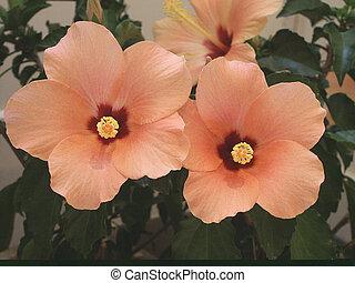 Hibiscus Flower in Full Bloom