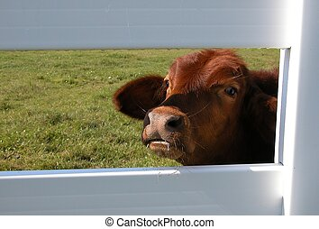 Peering Through - Photographed a calf looking through a...