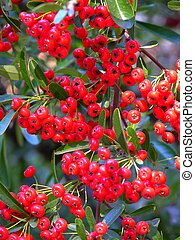 Very Berry - Pyracantha berries