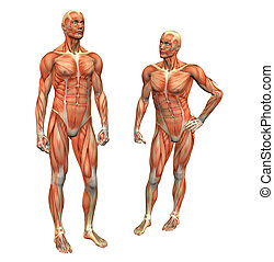 muscle man 2 w clipping mask - anatomy muscle man standing w...