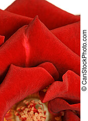 vertical of rose ped - vertical of red rose pedals isolated...