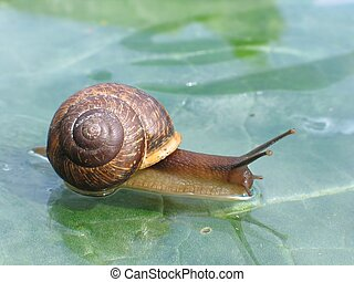 Snail on a glass surface - Snail on a wet glass surface