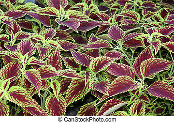 Colues Patch - Proper Name: Coleus, Solenostemon...