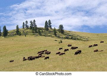 Buffalo, National Bison Range - Photo of a buffalo herd,...