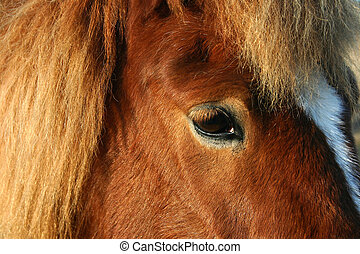 danish horses 12 - close up danish horses on a field in the...