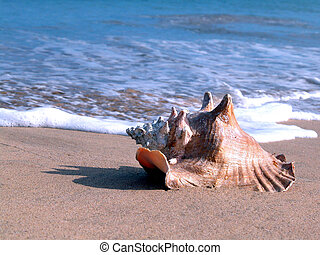 whelk in the beach