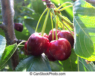 Cherries in Tree - Clump of ripe cherries hanging in tree