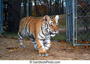Tiger Cub - A tiger cub pacing in his pen.