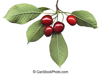 Cherry bunch with leaves - Four ripe cherries and leaves on...