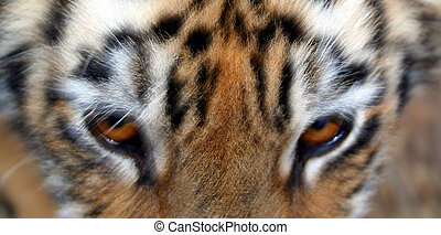 Tiger Eyes - A close up of a tiger's eyes