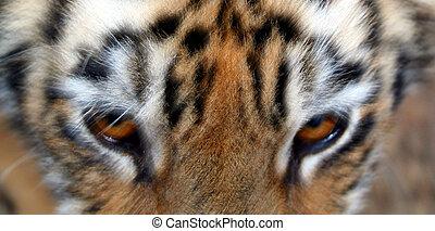 Tiger Eyes - A close up of a tiger's eyes