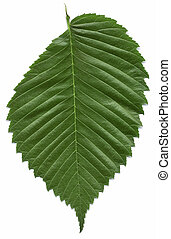 Leaf of the American elm tree isolated on white background