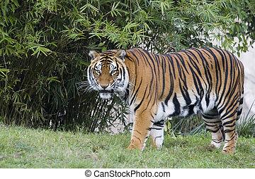 Tiger - Bengal Tiger