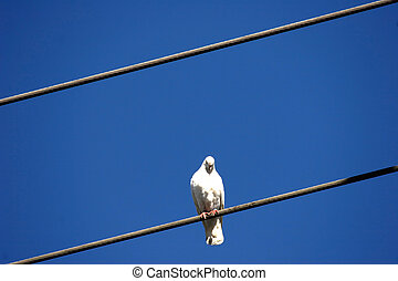 white dove on wire - white dove on power line