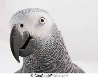 Head of African Grey - The head of an African Grey Parrot
