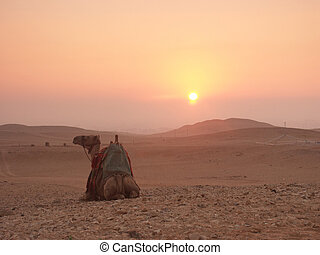 Camel at sunrise - Camel at the Gizeh plateau near the...