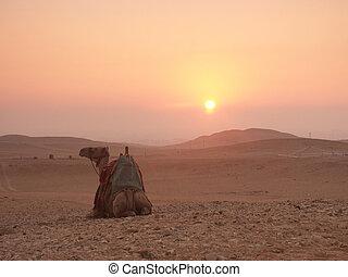 camelo, amanhecer