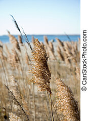 Autumn Sea Grasses Gone to Seed - Sea grasses in the autumn...