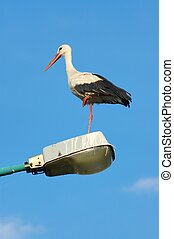White Stork - White stork (Ciconia ciconia) on a lamp